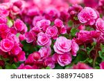 Pink Begonia Flowers In The...