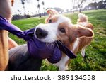 Stock photo a border collie dog playing with its owner on a frisk morning in the park 389134558