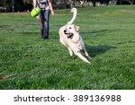 Stock photo golden retriever dog playing with his yellow plush footbal on the park s lawn 389136988