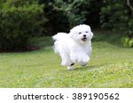 Maltese Dog Running   A White...