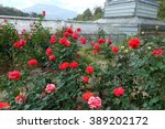 Stock photo beautiful red roses in rose garden 389202172