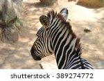 Zebra Looking Back