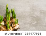 Daffodil Flower Bulbs View Fro...