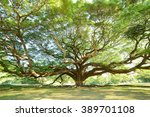 The Big Tree In Thailand With...