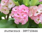 beautiful pink  crown of thorns ... | Shutterstock . vector #389710666
