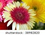 Rare bicolor herbera - stock photo