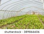 lettuce vegetables grown in the ... | Shutterstock . vector #389866606