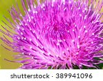 Beautiful Violet Thistle Flowe...