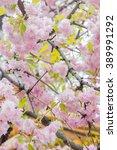 Japanese Sakura Flowers...
