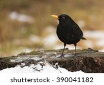 Common Blackbird  Turdus Merul...