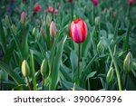 red tulips with beautiful... | Shutterstock . vector #390067396