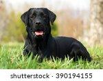 Happy Dog Beautiful Labrador...