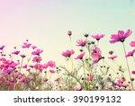 Vintage Pink Cosmos Flowers...