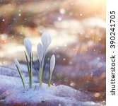 Spring Flowers  White Crocus...