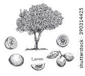 lemon tree sketch | Shutterstock .eps vector #390314425