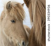 Small photo of Portrait of Icelandic horses with long mane and forelock in winter