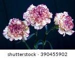 Carnation Flower On Black...