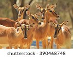 common impala   african... | Shutterstock . vector #390468748