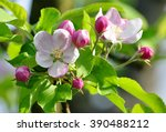 Tree   Apple Trees Blossomed