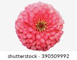 Pink Zinnia  Isolated On White...