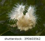 Small photo of Metridium Anemone