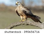 Red Kite   Milvus Milvus ...