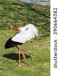 White Stork Courtship Display....