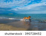Dog Playing At The Beach On...