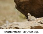 Small photo of See-see Partridge / Ammoperdix griseogularis