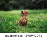 Beautiful Dachshund Sitting  I...