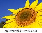 Bright yellow sunflower on field - stock photo