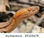 Small photo of Northern Copperhead (Agkistrodon contortrix mokasen)
