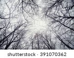 Looking Up At Trees In Winter