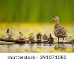 gadwall duck  anas strepera.... | Shutterstock . vector #391071082
