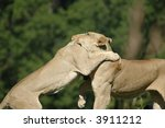 A Pair Of Female African Lions...