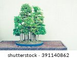 Small photo of Bonsai trees with split toning retro filter - Trident Maple Forest (Acer buergerianum)