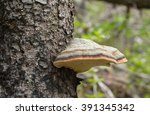 Red Belt Conk  Fomitopsis...