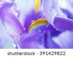 Purple Iris Petals With Water...