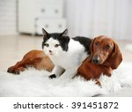 Stock photo beautiful cat and dachshund dog on rug indoor 391451872