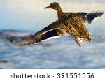 Flying Animal Duck Bird With...