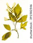 Small photo of Illuminated herbarium of Acer negundo seeds and leaves, isolated on white background.