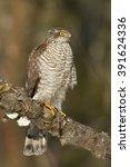 Small photo of Birds of prey - Sparrowhawk (Accipiter nisus)