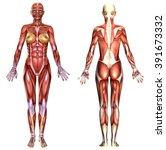 3d  Female Body Anatomy...