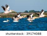 american white pelican in flight | Shutterstock . vector #39174088