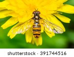 Hoverfly On Yellow Dandelion...