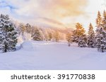 Firs With Sunrise  Winter