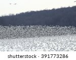 Mass Take Off Of Snow Geese...