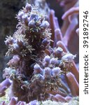 Small photo of Fuzzy Purple Bear Acropora Coral