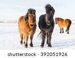 shaggy icelandic horses in sun... | Shutterstock . vector #392051926