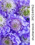 scabious flowers close up ... | Shutterstock . vector #392144962